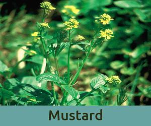 Mustard για την καταθλιψη ανθοϊαμα Μπαχ Bach Institute Hellas