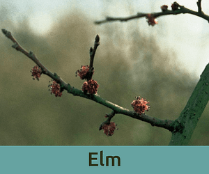 Elm για τις αυξημενες ευθυνες ανθοϊαμα Μπαχ Bach Institute Hellas
