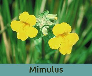 Mimulus για τις φοβιες ανθοϊαμα Μπαχ Bach Institute Hellas