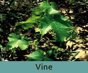 Vine για τον ελεγχο ανθοϊαμα Μπαχ Bach Institute Hellas