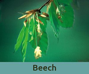 Beech για την κριτικη ανθοϊαμα Μπαχ Bach Institute Hellas