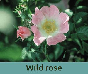 Wild rose για την απαθεια ανθοϊαμα Μπαχ Bach Institute Hellas