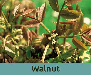Walnut για τη μεταβαση ανθοϊαμα Μπαχ Bach Institute Hellas