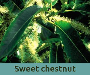 Sweet chestnut για την απελπισια ανθοϊαμα Μπαχ Bach Institute Hellas