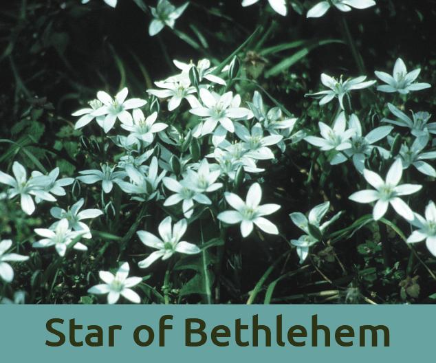 Star of Bethlehem για το τραυμα ανθοϊαμα Μπαχ Bach Institute Hellas