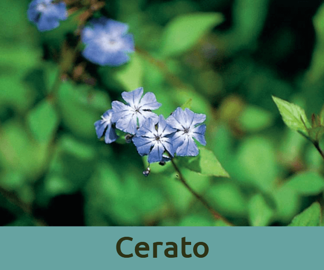 Cerato για εμπιστοσυνη στον εαυτο ανθοϊαμα Μπαχ Bach Institute Hellas