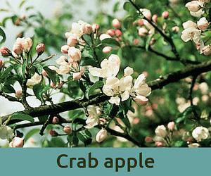 Crab apple για καθαρισμο ανθοϊαμα Μπαχ Bach Institute Hellas